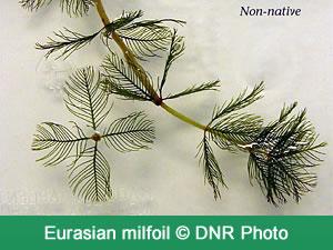eurasian_milfoil